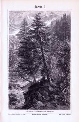 Stich aus 1893 zeigt verschiedene Lärchen und deren unterschiedliche Details.