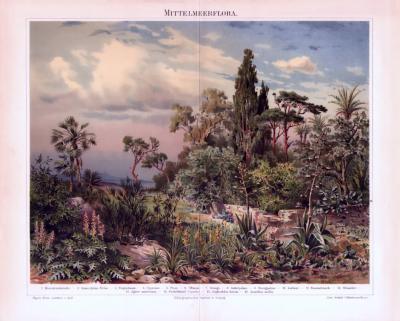 Chromolithographie aus 1893 zeigt Pflanzen in natürlicher Szenerie am Mittelmeer.