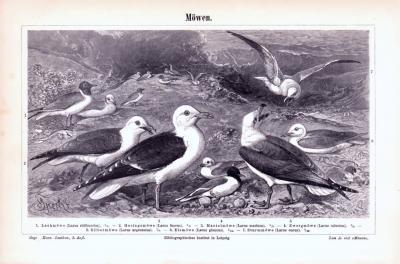 Stich aus 1893 zeigt verschiedene Möwenarten.