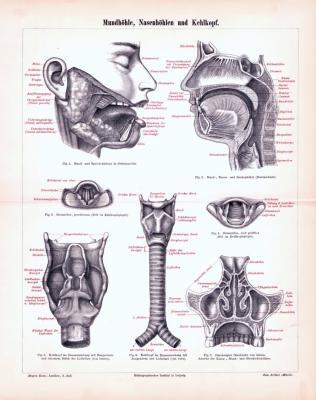 Stich aus 1893 zeigt medizinische Darstelungen von Mundhöhle, kehlkopf udn Nasenhöhlen.