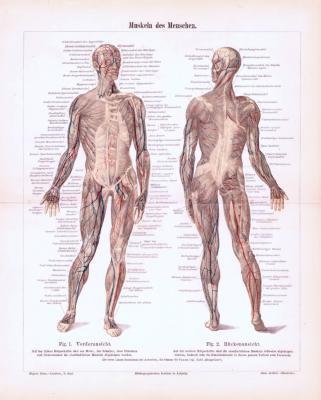 Farbige Lithographie aus 1893 zeigt in medizinischer Ansicht die Muskeln des Menschen