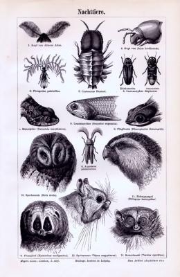 Stich aus 1893 mit Abbildungen verschiedene nachtaktive Tiere.