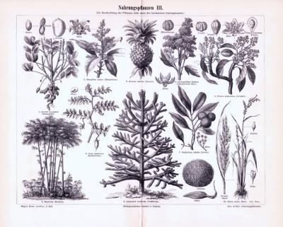 Stich aus 1893 zeigt verschiedene Nahrungspflanzen.