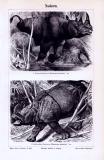 Stich aus 1893 zeigt Doppelnashorn und Indisches Nashorn...