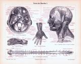 Stich aus 1893 mit medizinischen Skizzen zu den Nerven des Menschen.