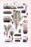 Chromolithographie aus 1893 zeigt verschiedene Moosarten.