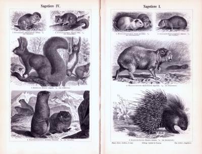 Stiche aus 1893 zeigen verschiedene Nagetiere in natürlicher Umgebung.