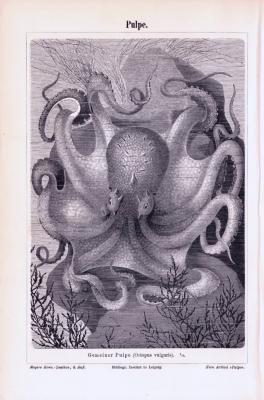 Stich aus 1893 zeigt einen Octupus in der Tiefsee.