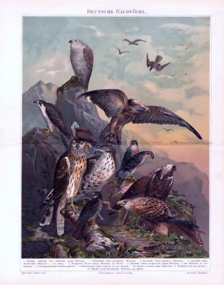 Chromolithographie aus 1893 zeigt verschiedene Raubvögel in Naturlandschaft.