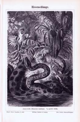 Stich aus 1893 zeigt eine Anaconda Riesenschlange in natürlicher Umgebung.