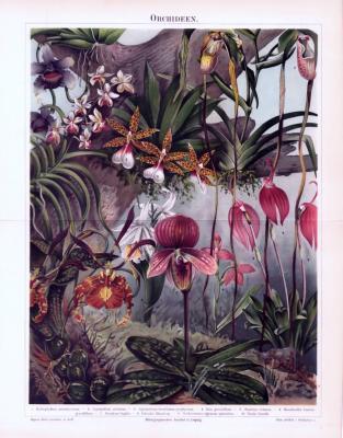 Chromolithographie aus 1893 zeigt 10 verschiedene Arten von Orchideen.