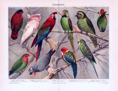 Chromolithographie aus 1893 zeigt 10 verschiedene Papageienarten.