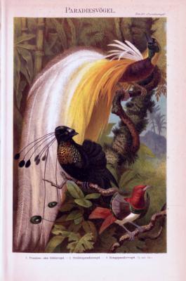Chromolithographie aus 1893 zeigt 3 verschiedene Paradiesvögel.