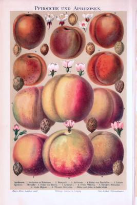Chromolithographie aus 1893 zeigt 11 verschiedene Arten von Aprikosen und Pfirsichen