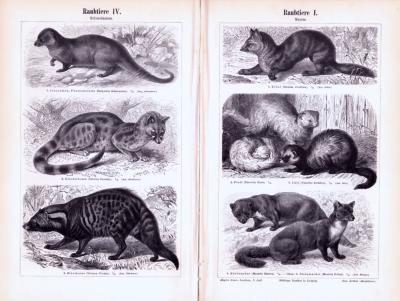 Stiche aus 1893 zeigen verschiedene Arten von Raubtieren in natürlicher Umgebung.