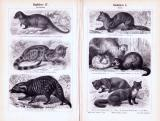 Stiche aus 1893 zeigen verschiedene Arten von Raubtieren...