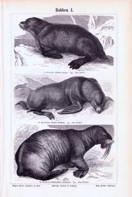 Stich aus 1893 zeigt verschiedene Robbenarten.