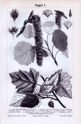 Stiche aus 1893 zeigen Blattformen, Samen und Früchte von Pappeln.