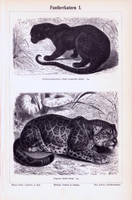 Stich aus 1893 zeigt verschiedene Pantherkatzen in natürlicher Umgebung.