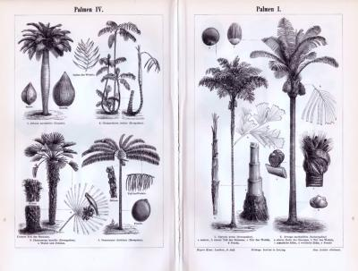 Stich aus 1893 zeigt verschiedene Arten von Palmen.