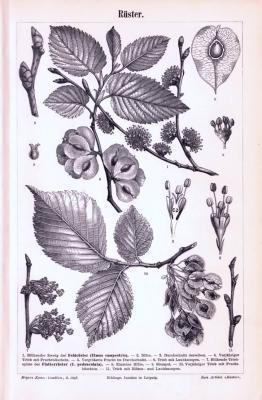 Stich aus 1893 zeigt Blattformen, Blüten, Samen und Früchte der Ulmen.
