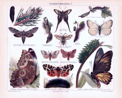 Chromolithographie aus 1893 zeigt verschiedene Schmetterlinge.