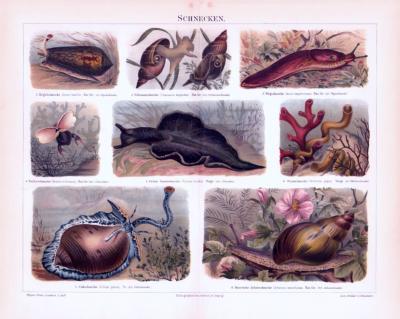 Chromolithographie aus 1893 zeigt verschiedene Schneckenarten.