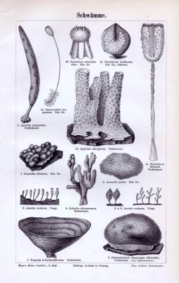Stich aus 1893 zeigt verschiedene Arten von Naturschwämmen.