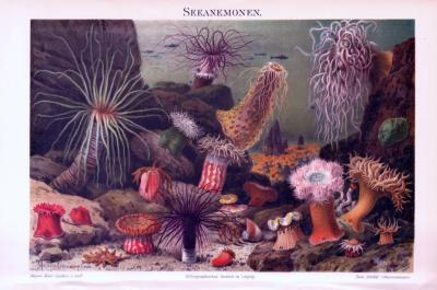 Chromolithographie aus 1893 zeigt verschiedene Seeanemonen in natürlicher Umgebung.