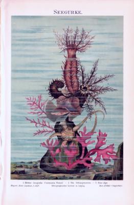 Chromolithographie aus 1893 zeigt eine Kletter Seegurke, einen Schlangenstern und eine Alge in einer Szenerie am Meeresboden.