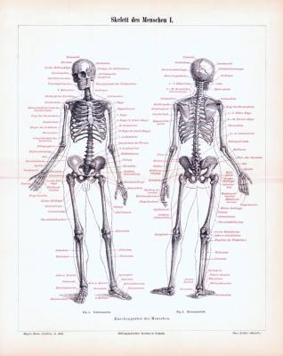 Stich aus 1893 zeigt das menschliche Skelett und seine medizinischen Bezeichnungen.