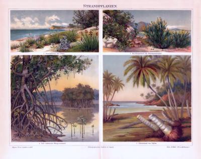 Chromolithographie aus 1893 zeigt verschiedene Strandpflanzen.
