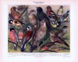 Chromolithographie aus 1893 zeigt verschiedene heimische Stubenvögel.