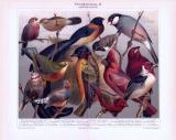 Chromolithographie aus 1893 zeigt verschiedene ausländische Stubenvögel.