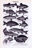 Stich aus 1893 zeigt verschiedene Teichfische.