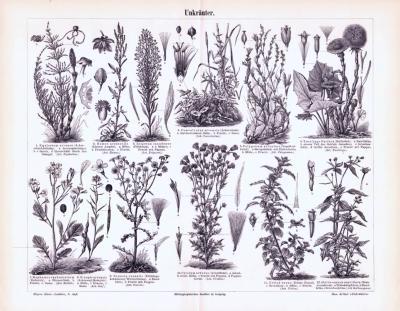Stich aus 1893 zeigt verschiedene Sorten von Unkrautpflanzen.