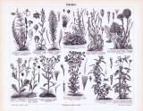 Stich aus 1893 zeigt verschiedene Sorten von...