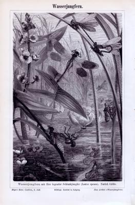 Stich aus 1893 zeigt Wasserjungfern in natürlicher Umgebung an einem Gewässer.