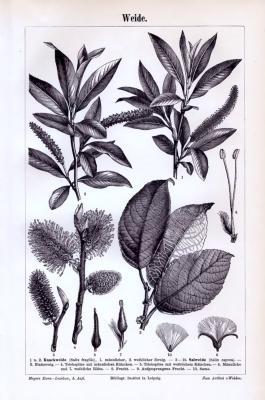 Stich aus 1893 zeigt Details von Weidenpflanzen.