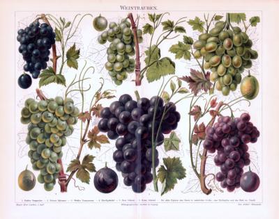 Chromolithographie aus 1893 zeigt verschiedene Rebsorten der Weintraube.