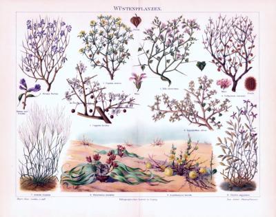 Chromolithographie aus 1893 zeigt verschiedene Wüstenpflanzen.