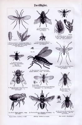 Stich aus 1893 zeigt verschiedene Arten von Insekten aus der Gruppe der Zweiflügler.