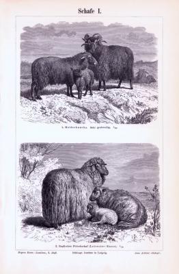 Stich aus 1893 zeigt 4 verschiedene Arten von Schafen.