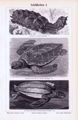Stich aus 1893 zeigt verschiedene Arten von Schildkröten.