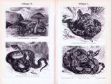 Stich aus 1893 zeigt verschiedene Arten von Schlangen.