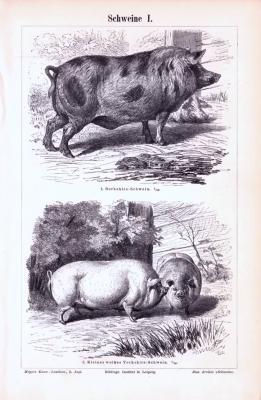 Stich aus 1893 zeigt verschiedene Arten von Schweinen.