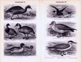 Schwimmvögel I. - IV. ca. 1893 Original der Zeit