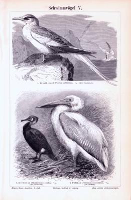 Stich aus 1893 zeigt verschiedene Arten von Schwimmvögeln.