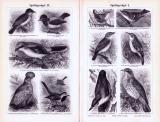 Stiche aus 1893 zeigen verschiedene Sperlingsvögel.