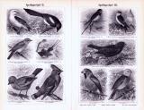Sperlingsvögel I. - IV. ca. 1893 Original der Zeit